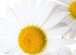 Chamomile - Matricaria Chamomilla extract, in a highly concentrated form
